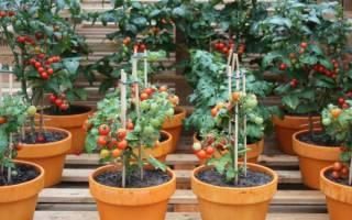 Помидоры на балконе: выращивание, посадка, какой сорт подойдет (фото и видео)