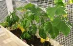 Как вырастить огурцы на балконе летом (фото и видео)