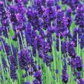 Лаванда в саду – выращивание и уход