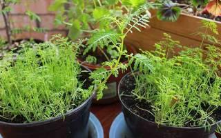 Выращивание укропа на балконе: все тонкости процесса